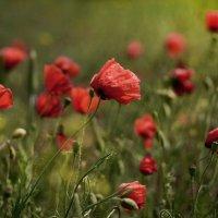 Холмы, поля, волнуемые красным, Шёлк лепестков горит полупрозрачно :: Лиана Краснопольская .