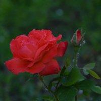 Роза :: Олег Рыбалко