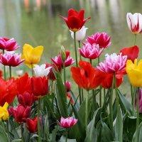 Тюльпаны :: Сергей