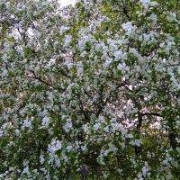 Яблоня в цвету :: Татьяна Котельникова