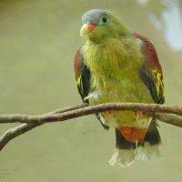 Толстоклювый зелёный голубь. :: Вадим Синюхин