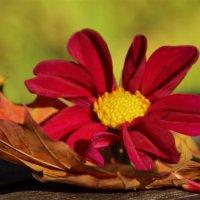 Осенний цветочек :: Татьянка *