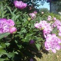 Vasara Panoramio sode / Summer in Panoramio garden :: silvestras gaiziunas gaiziunas