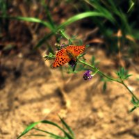 бабочка :: Хаджимурад Саидов