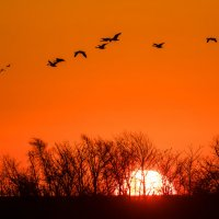 летят перелётные птицы :: Naum