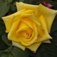 Роза желтая,роза чайная аромата необычайного! :: нина