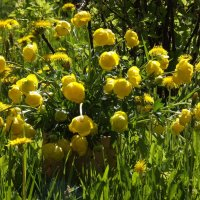 Лютики,лютики-желтые салютики! :: нина