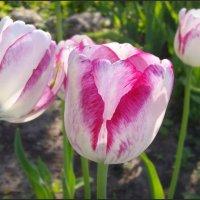 Тюльпаны в моем саду :: lady v.ekaterina