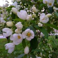 Прекрасна яблоня в цвету ... :: Татьяна Котельникова