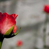 О, роза красная! Ты – символ страсти, Красуешься ты гордо средь других цветов, Ты – символ щедрости :: владислав завадич