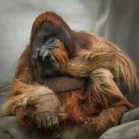 Орангутанг :: Андрей Бондаренко