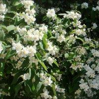 Пышное цветение жасмина :: Нина Корешкова