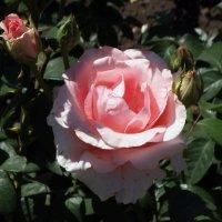 Майская  роза Фото №21 :: Владимир Бровко