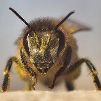 Пчела :: Александр Кочуркин