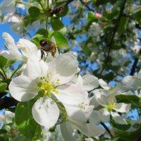 Цветёт яблонька. :: Валерий Медведев