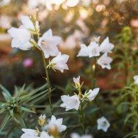 цветы :: Кира Пустовалова - Степанова