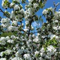 Яблочная весна :: Стас Борискин (Stanisbor)