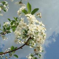 Вишневое цветение :: Стас Борискин (Stanisbor)