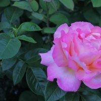 Вечерняя роза :: Валерий Хинаки