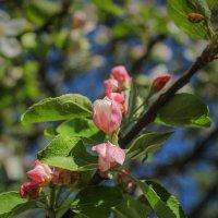 Яблоня в цвету :: Анатолий Шумилин