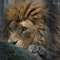 Африканский лев :: Владимир Шадрин