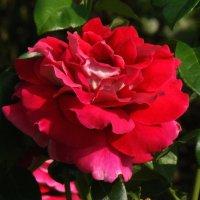 Яркая роза :: Татьяна Георгиевна