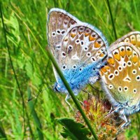 Голубянка Икар. :: vodonos241