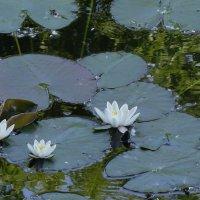 Лилии на озере :: Маргарита Батырева
