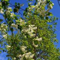 Белый цвет,черёмухи цвет... :: Ольга