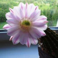 Мой Любимый цветок. :: Марина Харченкова