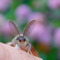 Самец непарного шелкопряда!  (пеленгует самочку) :: Елена (Elena Fly) Хайдукова