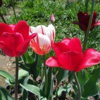 красивые тюльпаны :: Владимир