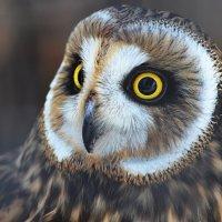 Болотная сова... :: Наташенька *****