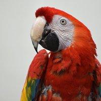 Красный ара... :: Наташенька *****