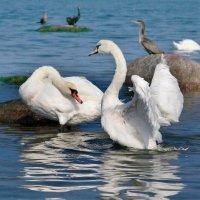 Пара лебедей :: Lusi Almaz