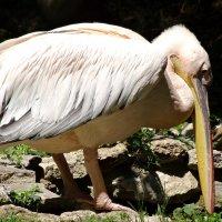 Неуклюжий пеликан :: Swetlana V