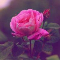 Розовые розы... :: Любовь Потравных
