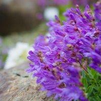 Северный цветок. Северная Норвегия. Ботанический сад. :: Инта