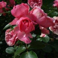 Пройдемте в сад? Я покажу вас розам.   Ричард Бринсли Шеридан... :: Galina Dzubina