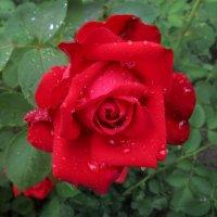 Красная роза после дождя. :: Nata