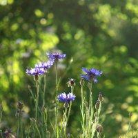 Голубое сияние летнего чуда :: Ирина