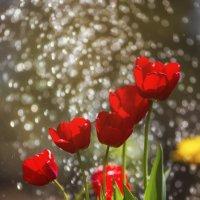 Июньские тюльпаны :: Татьяна Афанасьева