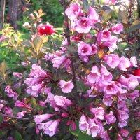 Вейгела цветёт :: sm-lydmila Смородинская