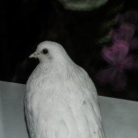 белый голубь :: Юлия Денискина