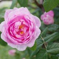 Чайная роза. :: Светлана Крюкова
