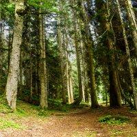 пихтовый лес IMG_9675 :: Олег Петрушин