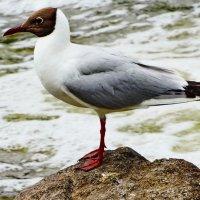 Буроголовая чайка. :: vodonos241
