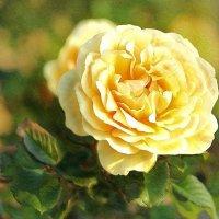 Болгарская роза :: tat
