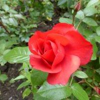 Красная, прекрасная! :: Татьяна Лобанова