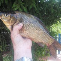 ....золотая рыбка... :: александр дмитриев